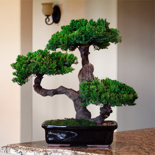 decorate your home or office interiors with a 20 inch preserved bonsai tree add bonsai office interior