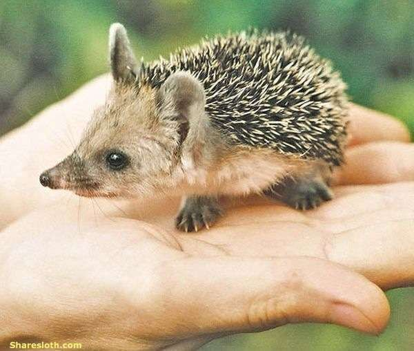 Long Eared Hedgehogs   So Cute!