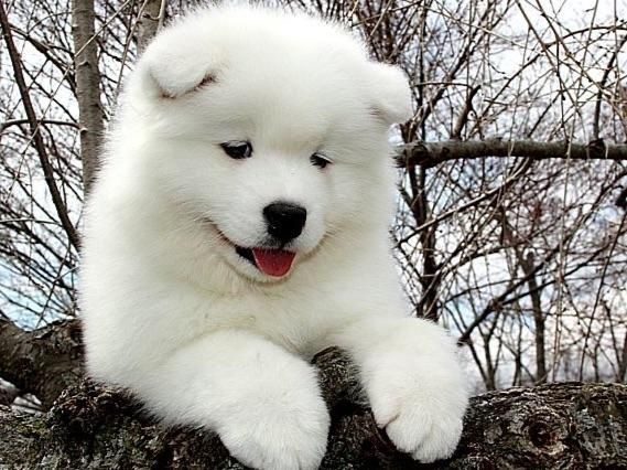Samoyed Puppies For Sale - AKC Marketplace