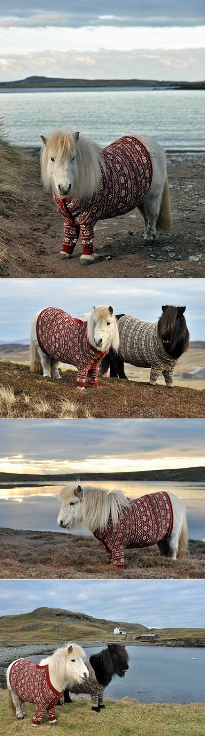 These horses are diagnosed with lung problems because their mother smoked and so they each have a lump on their chests. A really nice neighbor had sweaters made to fit these little ponies