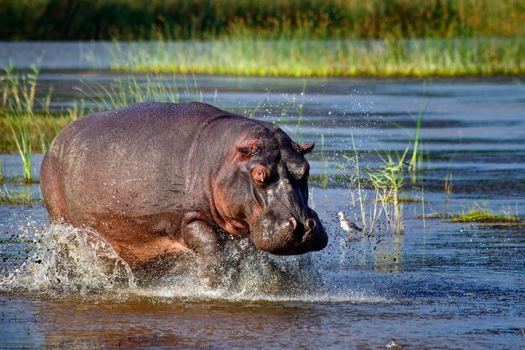 Hippo Charging St. Lucia South Africa - by Matt Karsten of ExpertVagabond.com Great photo! He was lucky to see some hippos, on my visit all I saw was their nostrils sticking out from the water, they were too lazy to come out to see me ;)