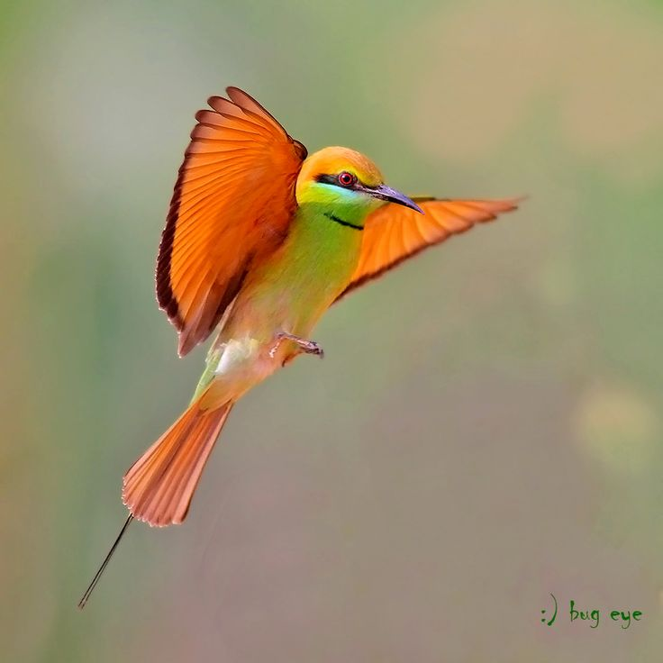 Mr.beecome! by bug eye :), via 500pxNature, Rainbows Colors, Green Bees Eating, Little Birds, Beautiful, Vibrant Colors, Bees Eaters, Hummingbirds, Green Beeeater