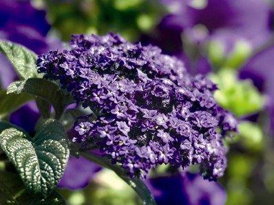 Heliotropium Incense Blue: Heliotropium 'Incense Blue' er en relativt ny sort med kompakt vækst, tæt mørkegrønt løv og mørke lavendelblå blomster.  Højde x bredde: ca. 30 cm x 30 cm.  Blomstrer fra maj til oktober med en fantastisk duft.