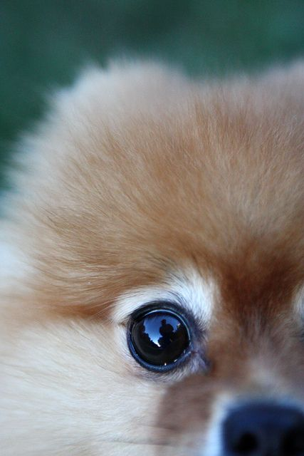 pomeranian eyes reflection in his eye 38 52 flickr photo sharing i 6409