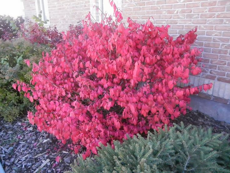"""If a poll of """"favorite autumn plants"""" was taken in southeast Idaho, I have  no doubt dwarf burning bush (Euonymus alatus 'Compactus') would win hands  down."""