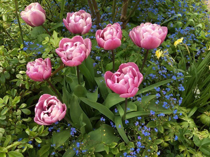 Tulipaner 🌷