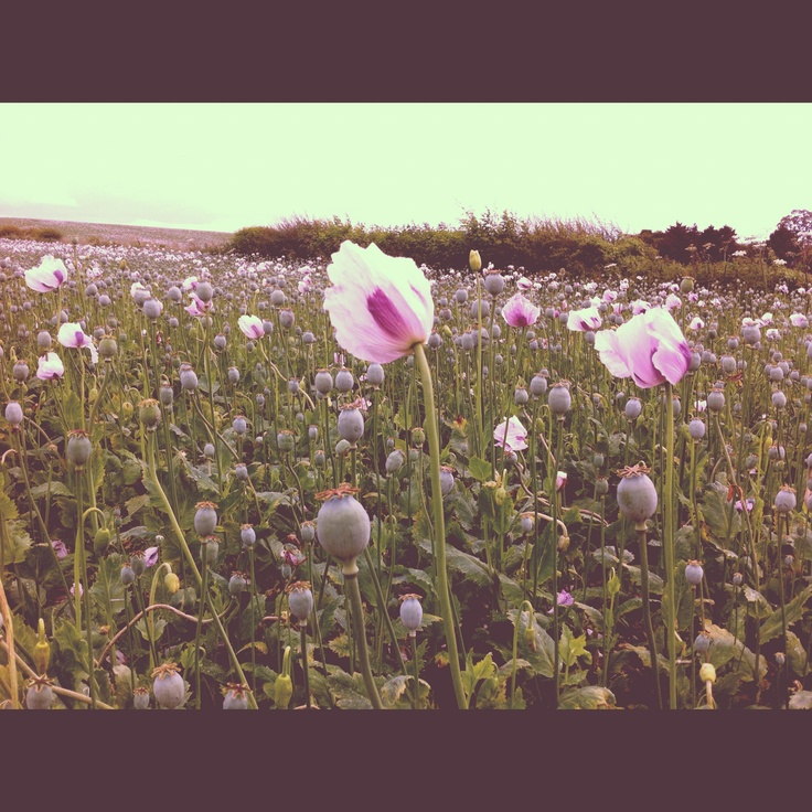 A field of Pink poppies