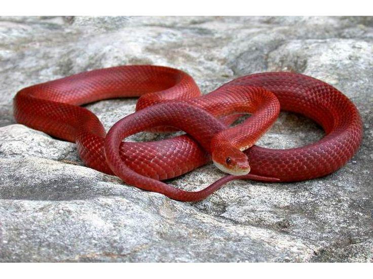 Bloodred Corn Snake (Pantherophis guttatus)