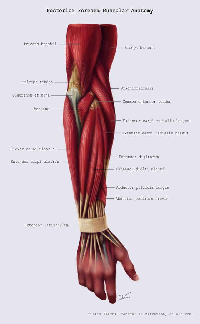 31 best forearm muscle images on Pinterest | Human anatomy, Human ...