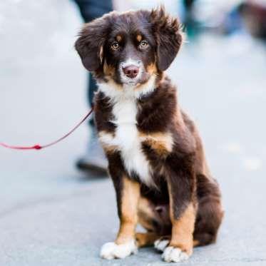Miniature Australian Shepherd, 4 months old - Elias Weiss Friedman, The Dogist, LLC; TheDogist.com