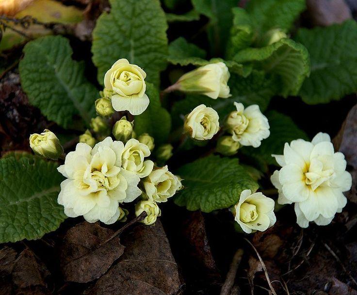 Den här Primulan jordvivan köptes hem för några år sen och fick en plats i rabatten när frosten lagt sig. Igår såg jag den återigen lysa upp med sin vackra gula färg.