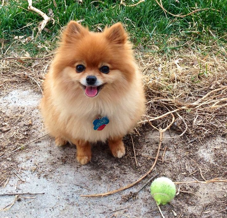 baby pomeranian dogs 527 best dogs images on pinterest german spitz cubs and 3294