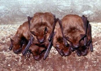 Facts about bats | Living the Country Life --Having a few bats in your belfry is a good thing --By Jodi Henke