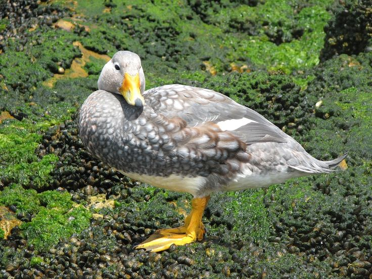 White-headed Steamer Duck