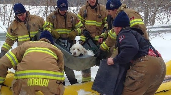 White Wolf: Firefighters save Great Pyrenees dog frozen to river ice (Video)