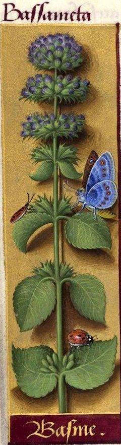 Basme - Bassameta (Peut-être Mentha ocimoïdes Hast.) -- Grandes Heures d'Anne de Bretagne, BNF, Ms Latin 9474, 1503-1508, f°80v