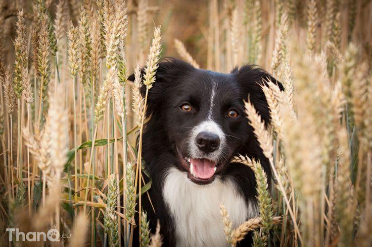 Portretfoto van Fenna in het graan // #hondenfotografie #bordercollie