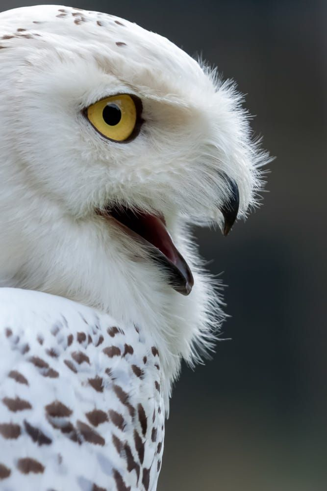 Bird of Prey - Snowy Owl (Bubo scandiacus) - by Phil Bird LRPS CPAGB