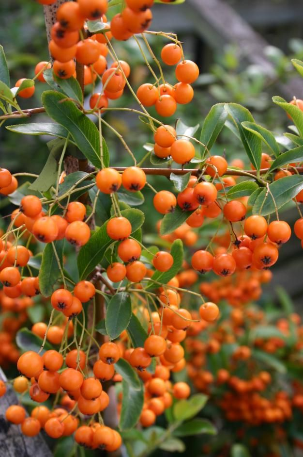 Pyracantha golden charmer1 vigorous growers and are for Structural plants for small gardens