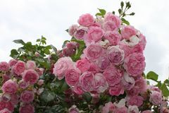 Kletterrose 'Jasmina'  ®        ADR-Rose