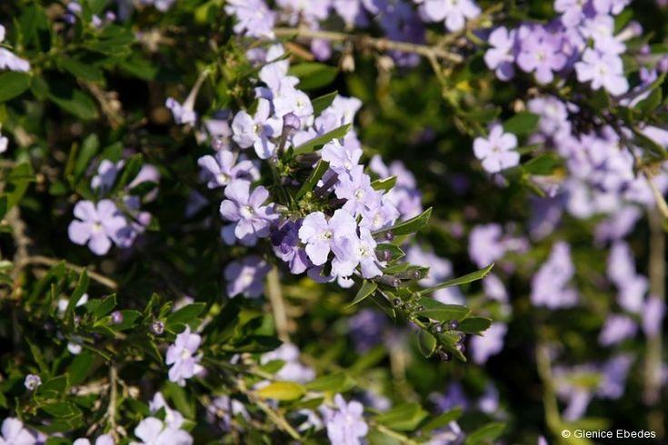 Freylinia tropica (Honeybell bush)