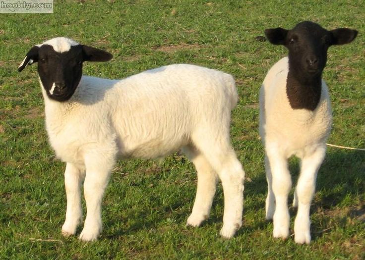 Dorper Sheep Lambs