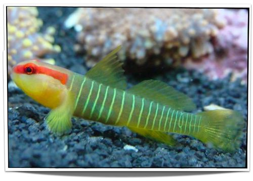 Saltwater Fish For Sale - Pet Green Banded Goby Fish For Sale - only $19.95 at Pet Fish For Sale
