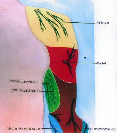 Illustration of the left arm, showing zones of nervous innervation, posterior view :: Orthopaedic Surgical Anatomy Teaching Collection