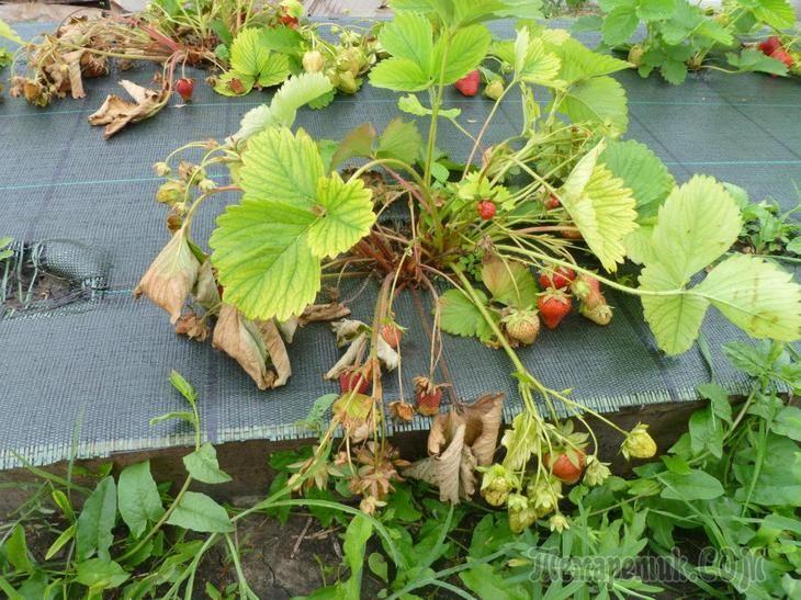 классический садовая земляника засыхают плоды фото можно украсить