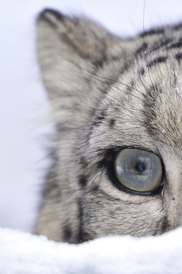 EYE of a Snow Leopard by Josef Gelernter on 500px. Looks as if it's almost made of ice! Amazing.