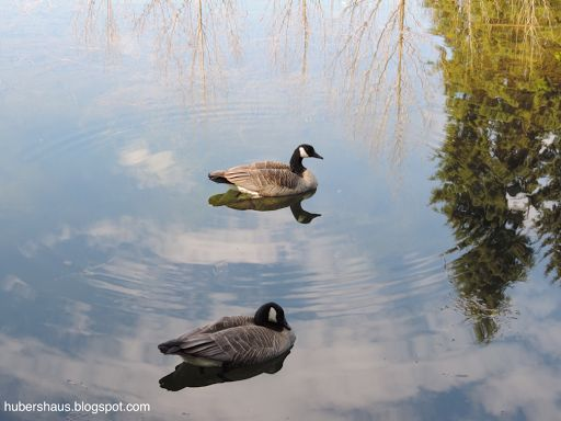 Canadian Geese have returned to the pond
