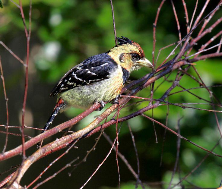 Crested Barbet - A regular garden visitor.