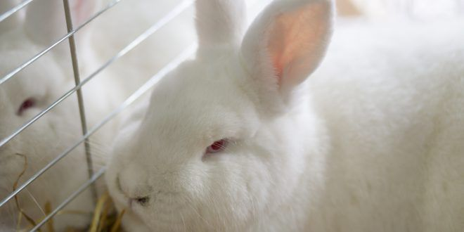 Basta gabbie per i conigli. Il Parlamento europeo dice sì alla dismissione graduale delle batterie, ma ci vorrà ancora del tempo (e una legge)