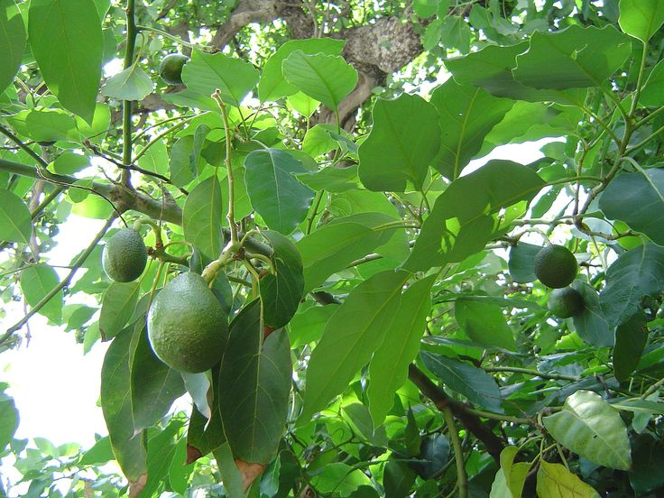 How To Grow Avocados Indoors & Out - http://www.ecosnippets.com/gardening/how-to-grow-avocados-indoors-out/