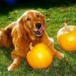 Human Foods Safe For Dogs Pumkins