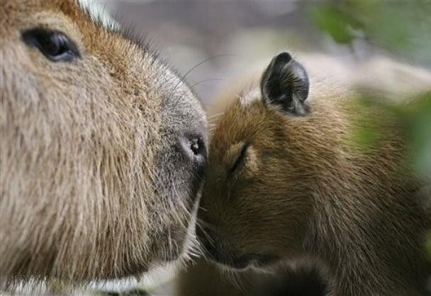 A capybara mum with baby