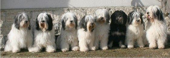 Polish Lowland Sheepdog Information, Polish Lowland Sheepdog Information Conscientious Breeders