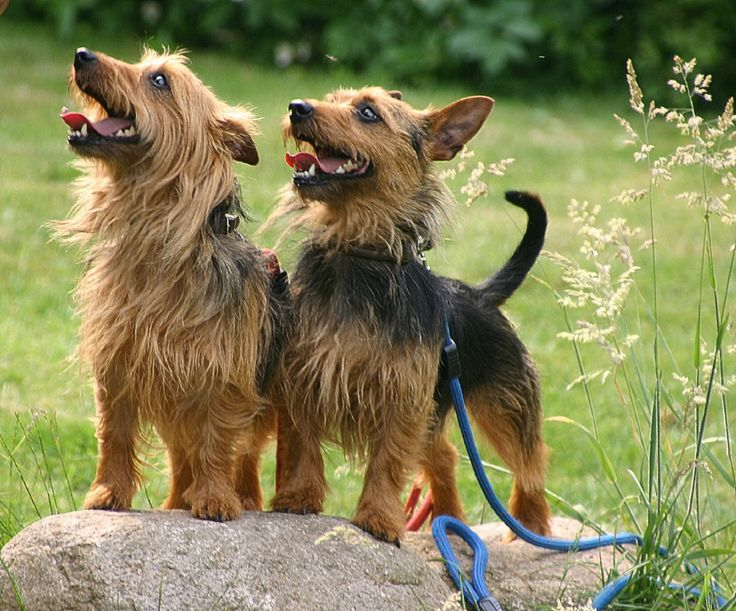 australian terrier   Geschichte des Australian Terrier