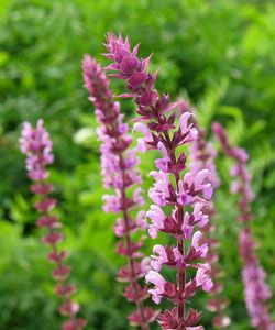 Amazing Salvia nemorosa uAmethyst u Steppen Salbei