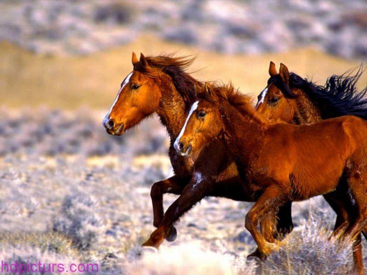 صور حيوانات 2018 خلفيات حيوانات جميلة وصور اجمل الحيوانات Wild Horses Wild Horses Mustangs Wild Horse Pictures