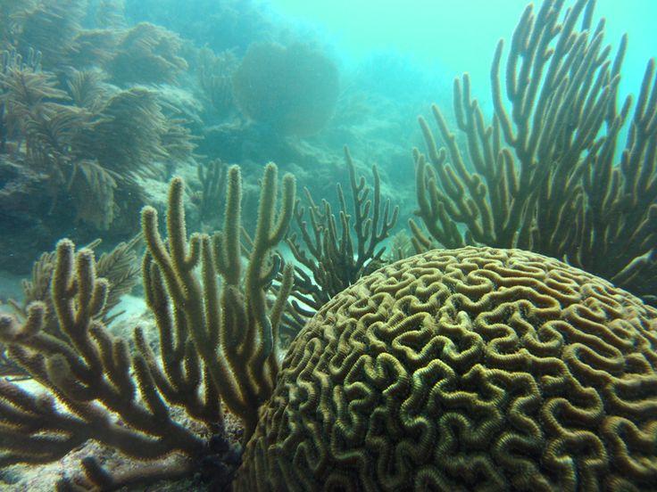 brain coral (diploria strigosa) .. Key West, FL