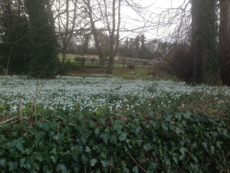 A front garden full of snowdrops