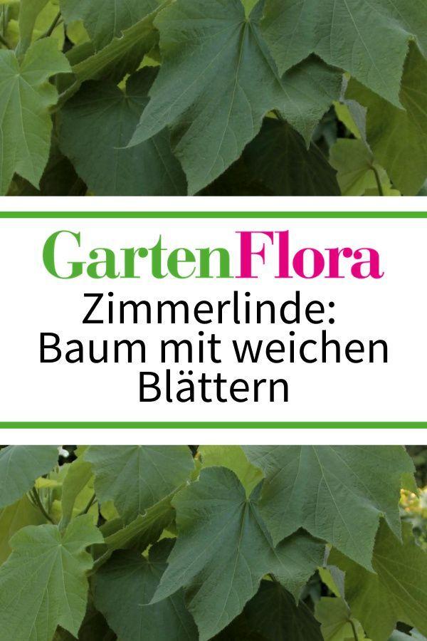 Zimmerlinde Zimmerbaum Mit Weichen Blattern In 2020 Zimmerlinde Pflanzen Zimmer Wintergarten Einrichten