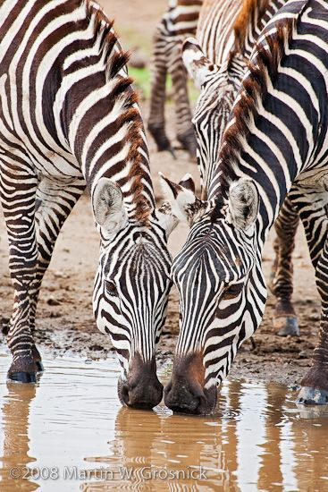 Burchell's Zebra mares drinking, Masai Mara, Kenia
