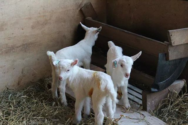 Keçi yavruları oğlaklar