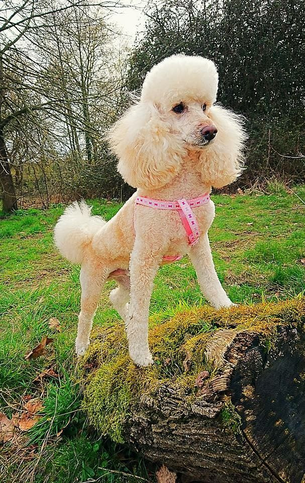 Pin By Tammy Donaldson On Poodle Love Poodle Hair Mini