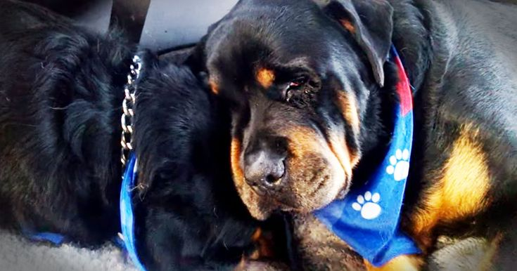 For anyone who has ever thought animals don't have emotions this is your proof! Brutus' brother Hank passed in his sleep. And when you see how this loving pup grieves the loss of his brother you'll be touched. Grab your tissues folks!