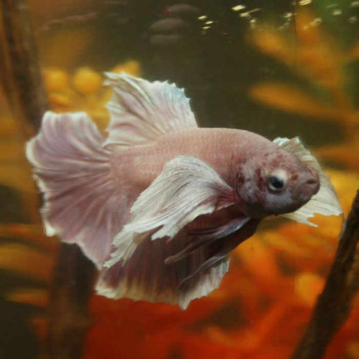 70 best betta images on pinterest fish aquariums fish for Best place to buy betta fish