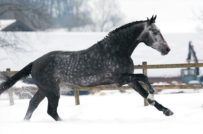 Bavarian Warmbloods are made up of blood from other German warmbloods. There are a handful of Dutch Warmblood, Trakehner and Thoroughbred stallions as well, though the Bavarian studbook is rather unusual for including a Russian Warmblood and two Budyonny stallions.