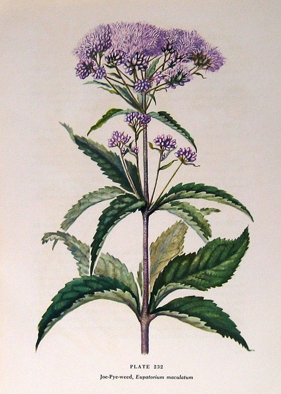 Joe Pye Weed 1954 Wildflower Vintage Book Plate